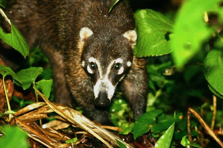 Cute Coati at Monteverde, Costa Rica