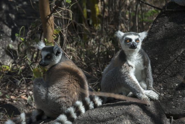 Madagascar_Animals_King_Julien_Ringtail_Lemurs