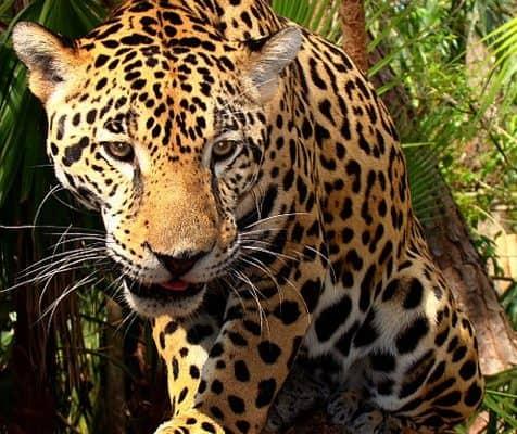 ECO NEWS: U.S. Announces Major Jaguar Conservation Projects