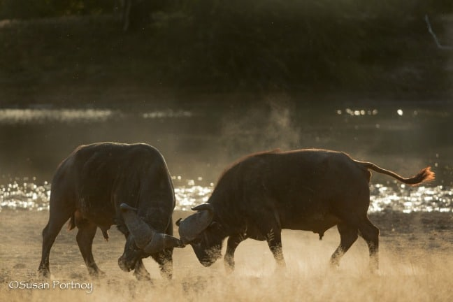 Two male buffalos