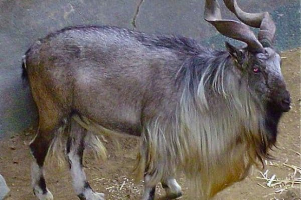 ENDANGERED SPECIES SPOTLIGHT: Markhor