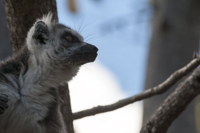 Madagascar Animals: Catta Lemur