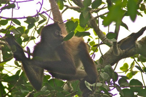 Spider Monkey in Ma'ax Yetel Kooh