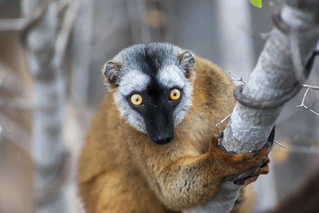 Madagascar Animals: Brown Lemur