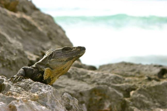 Iguana in the Riviera Maya, Mexico