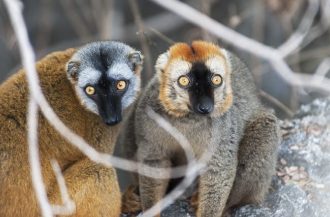 Madagascar Animals: A Mating Pair of Brown Lemurs