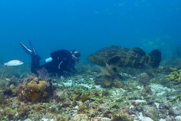 ENDANGERED SPECIES SPOTLIGHT: Atlantic Goliath Grouper