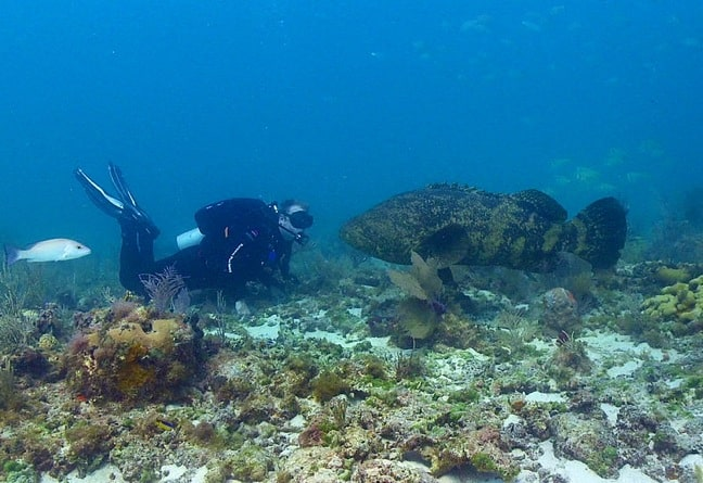 PIC: Atlantic Goliath Grouper, by Brett Seymour via National Park Service