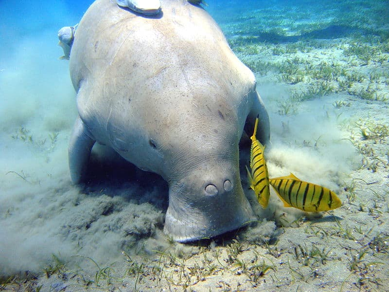 Things to Do in Coron, Palawan: Swimming with Dugongs
