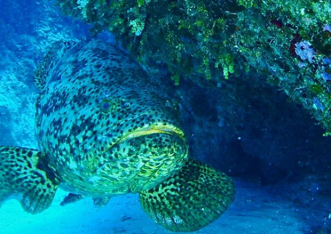 Atlantic_Goliath_Grouper_Albert_Kok