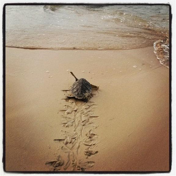 Sea Turtle on Little Corn Island, Nicaragua