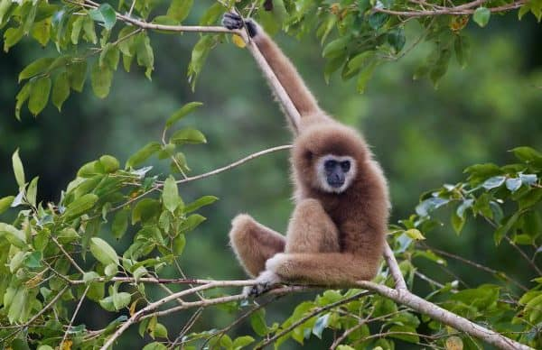 THAILAND: Gibbon Conservation in Phuket
