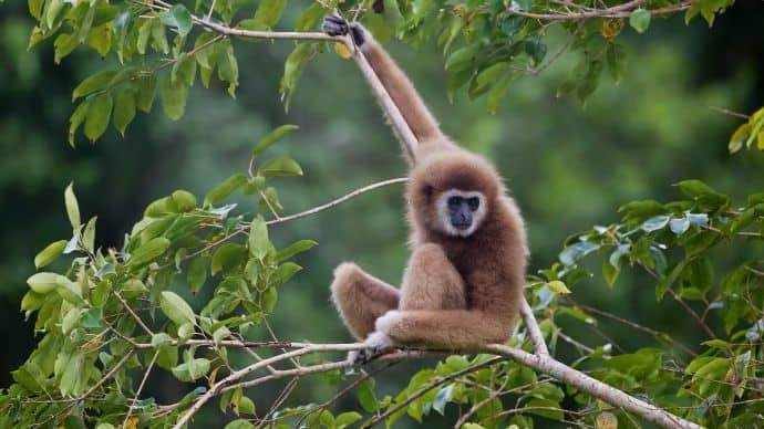 A gibbon in the wild where it belongs