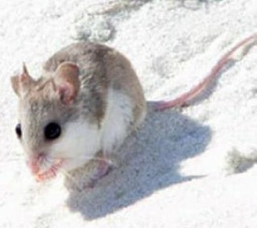 ENDANGERED SPECIES SPOTLIGHT: Alabama Beach Mouse