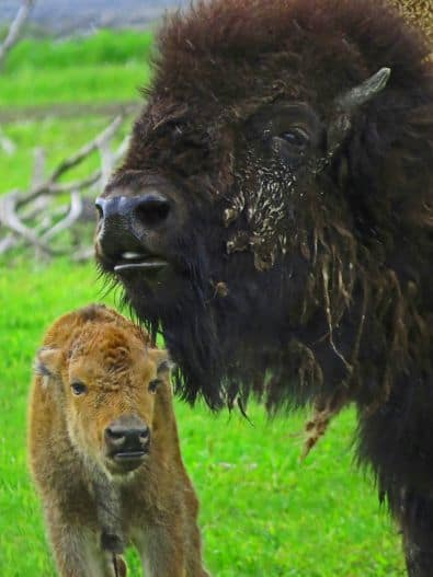Alaska Wildlife Conservation Center Bison with calf