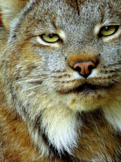 Lynx at Alaska Wildlife Conservation Center