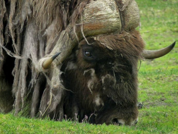 Alaska Wildlife Conservation Center Muskox Grazing