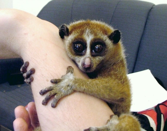 Animal Selfies with Slow Loris