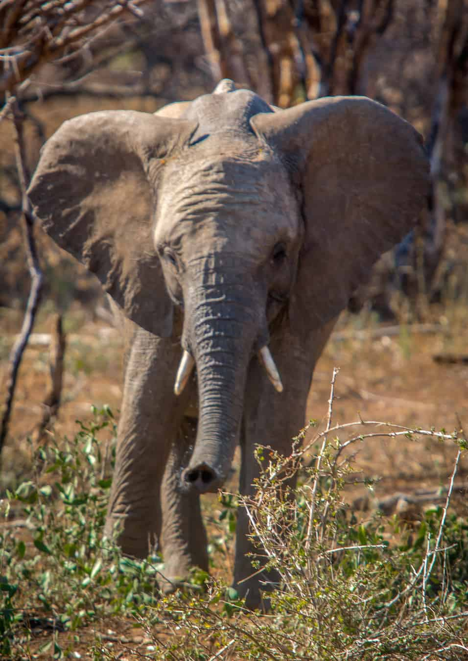 Interesting Elephant Facts: Baby Elephant in Kruger National Park South Africa