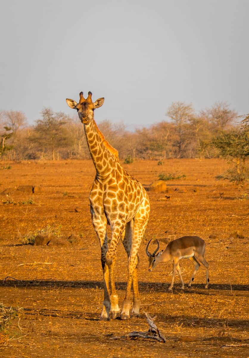 Baby Giraffe in Kruger National Park