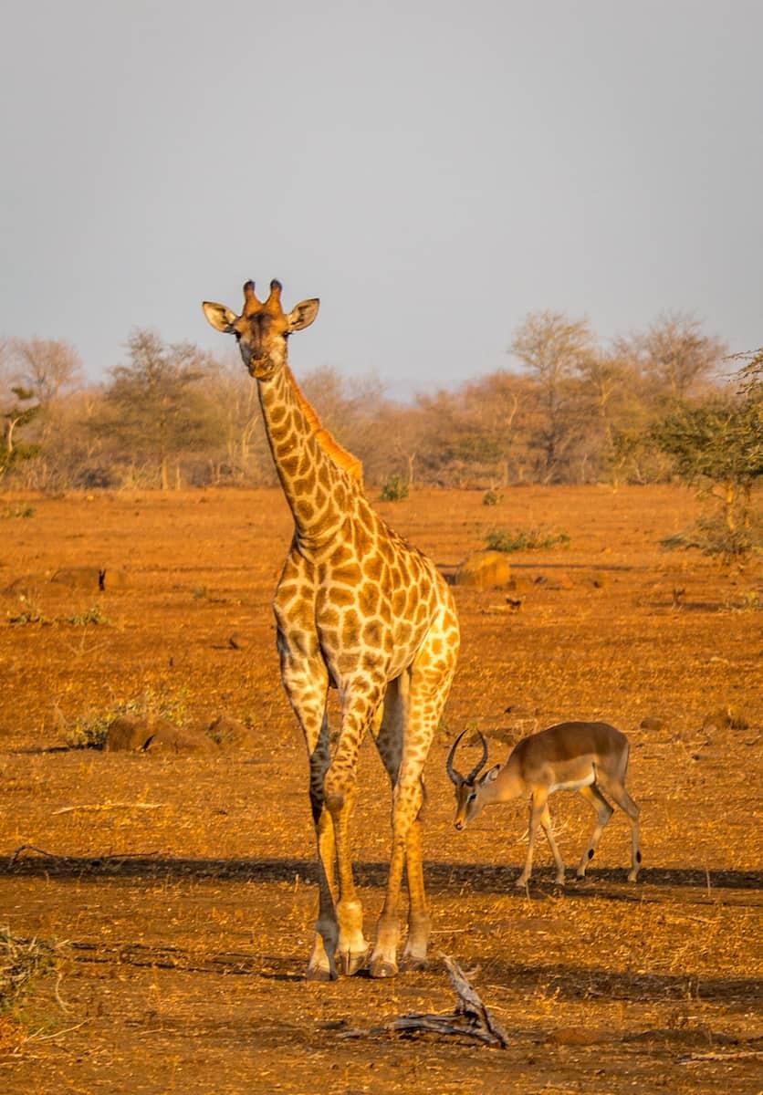 Baby Giraffe in Kruger National Park