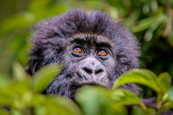 PIC OF THE DAY: Baby Gorilla in Volcanoes National Park