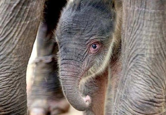 ENDANGERED SPECIES SPOTLIGHT: Sumatran Elephant