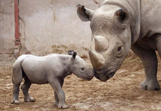 Baby and Mama Black Rhinoceros