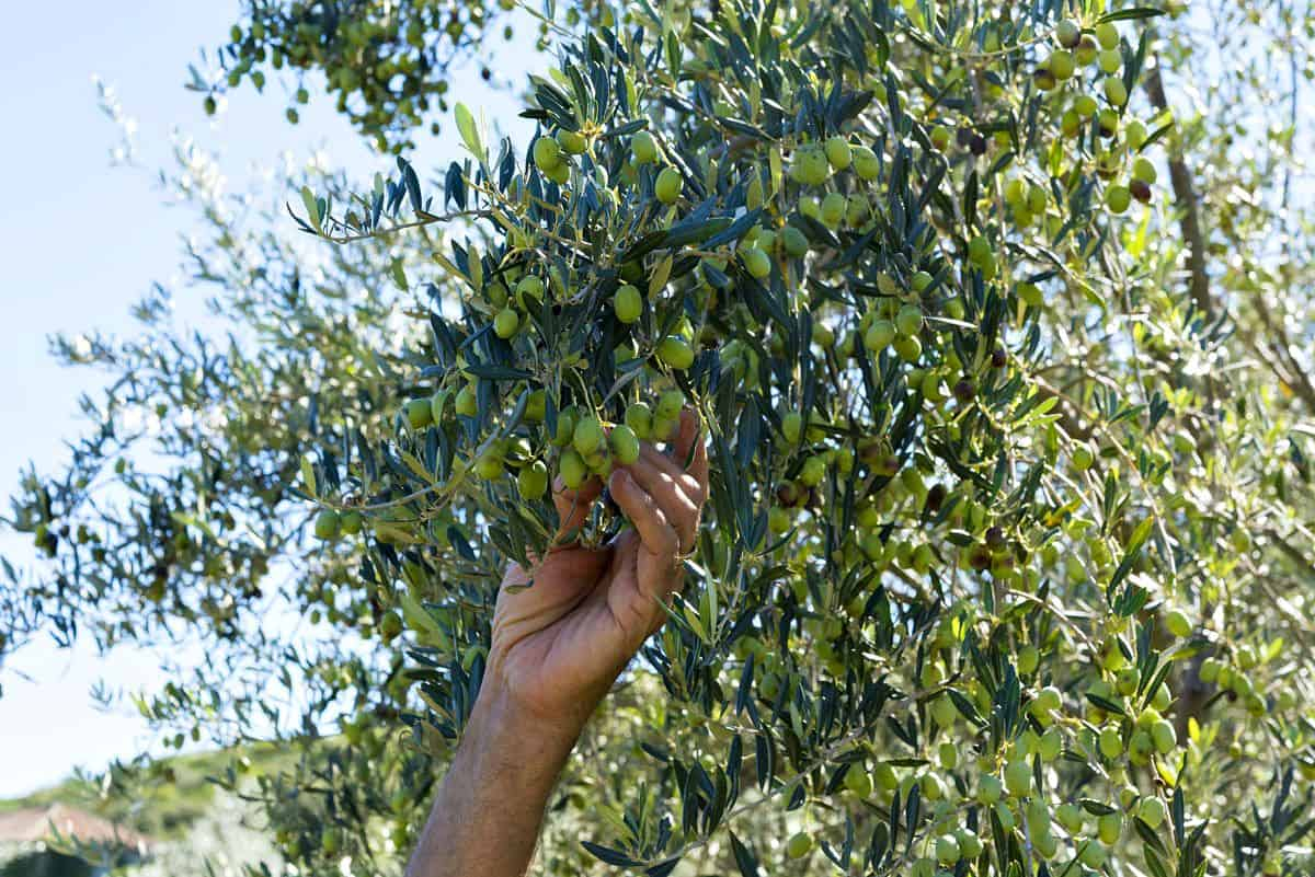 Balkan Travel-Via Dinarica Picking Olives in Sipan, Croatia