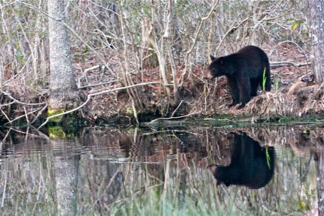 Why is ecotourism important: Black Bear reflection in Outer Banks, North carolina