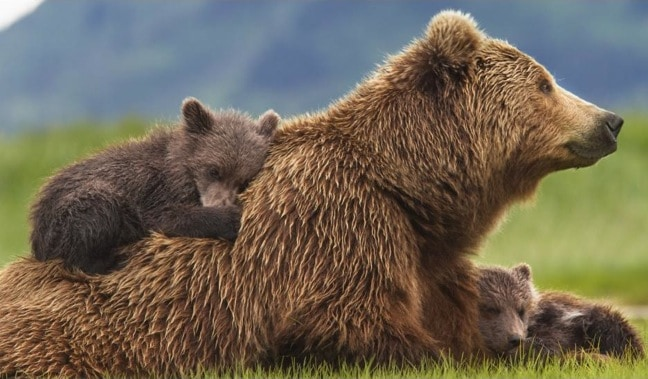 Bears, a review of the new film from DisneyNature