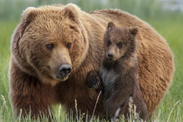 Bears Movie Review, Disney Nature's new documentary