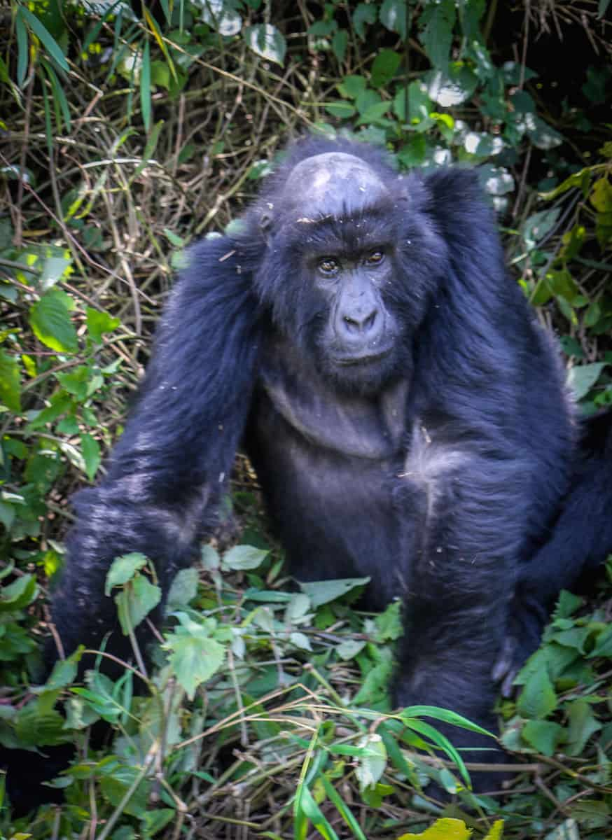 Dian Fossey Gorilla Fund International- Sabyinyo Group's Famous Big Ben
