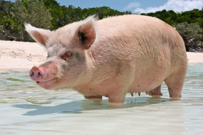 Bahamas Mayjor Cay Swimming Pigs Big Mama