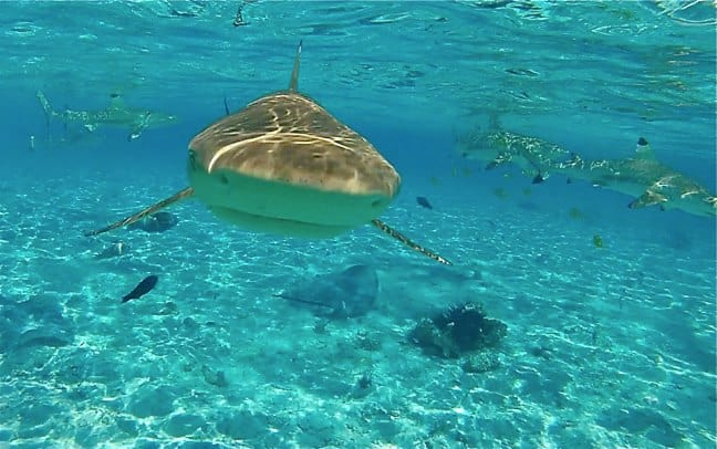 Ecotourism Adventures -Black Tip Reef Sharks Tahiti