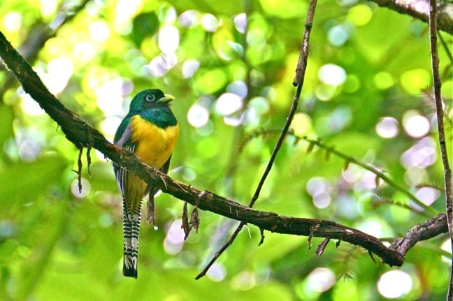 Black Throated Trogon in Corcovado National Park, Costa Rica
