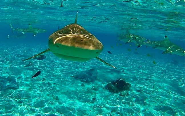 Swimming with Blacktip Reef Sharks in Bora Bora, Tahiti