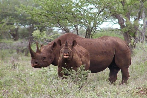 ECO NEWS: Killing for Conservation- Can Hunting Save the Black Rhino?