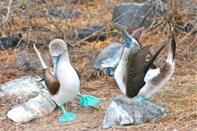 Galapagos Birds: The Blue-Footed Booby mating dance on Espanola Island.