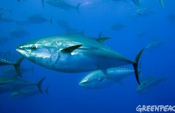 ENDANGERED SPECIES SPOTLIGHT: Southern Bluefin Tuna Facts