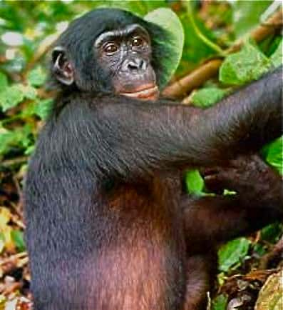 Bonobo in Democratic Republic of the Congo