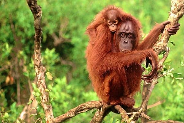 Bornean Orangutans photo via WWF