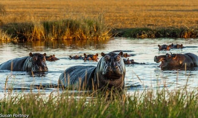 Hippos in Okavango Delta