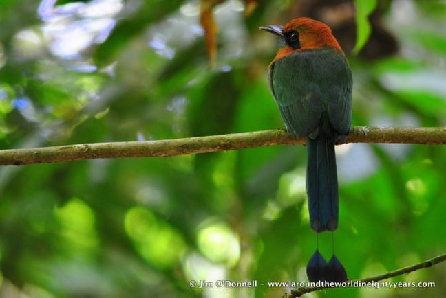 Birds of Costa Rica -Broad-billed Motmot at La Selva Biological Research Station