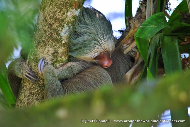 Costa Rican Mammals -Brown-throated sloth at La Selva Biological Research Station