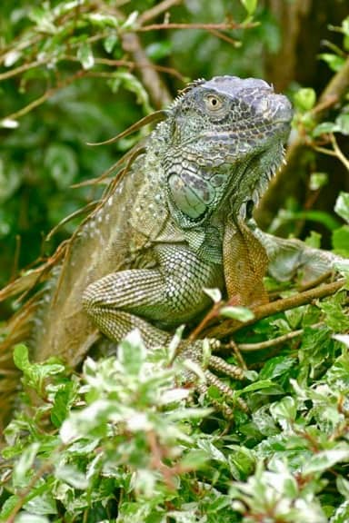 Green Iguana (Adult) in Costa Rica ,Tortuguero National Park