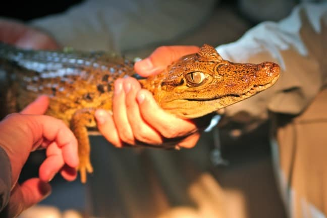 Baby Caiman in Amazon river