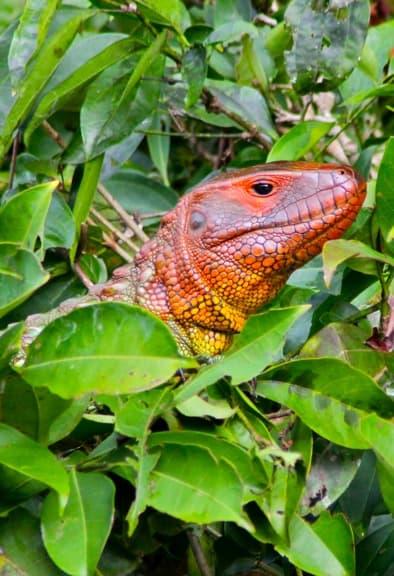 Caiman Lizard Amazon