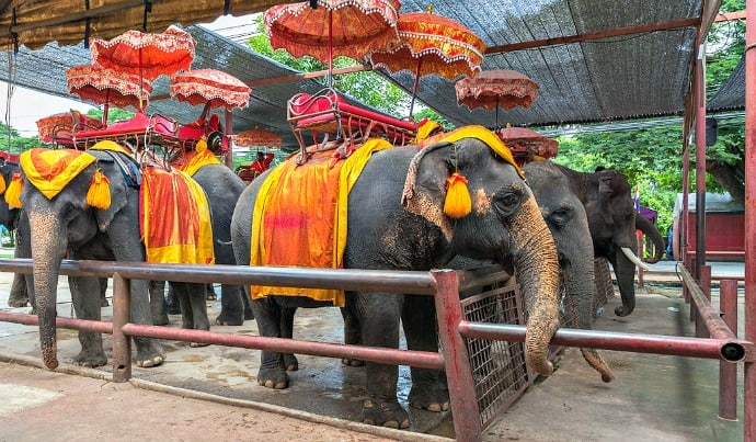 Animal Selfies -Captive elephants used for tours in Ayutthaya, Thailand