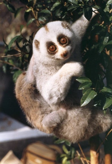 Captive Slow Loris in Laos